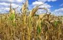 Veszélyes kánikula: a mezőgazdaságban is óriási károkat okoz