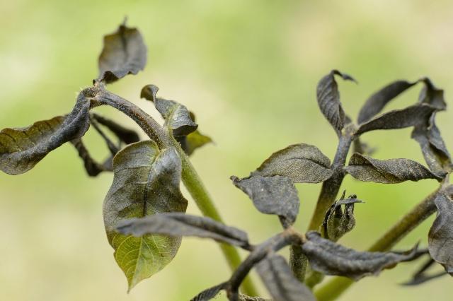 Tavaszi fagykár érte a gyümölcsösöket. MTI Fotó: Komka Péter