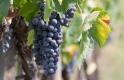 Hamarosan már leszüretelik az idei szőlőt