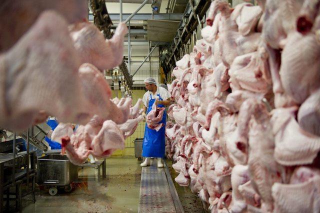 Feldolgozásra szánt pulykákat pakol egy munkás a Gallicoop Pulykafeldolgozó Kft. szarvasi üzemcsarnokában. MTI Fotó: Rosta Tibor