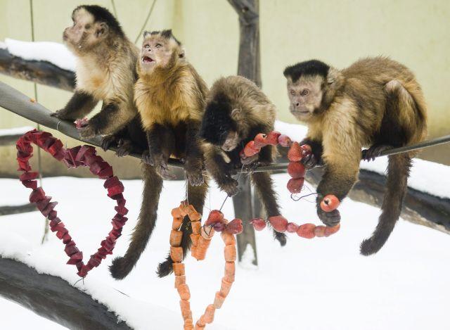 Apella csuklyásmajmok szív alakban meghajlított drótokra felhúzott céklát, sárgarépát és földiepret esznek kifutójukban. A Nyíregyházi Állatpark gondozói 2010-ben kreatívabbak voltak, mint az ország szerelmesei együttvéve.  MTI Fotó: Balázs Attila