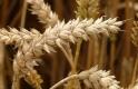 Kiderült, milyen a magyar gabonatermés