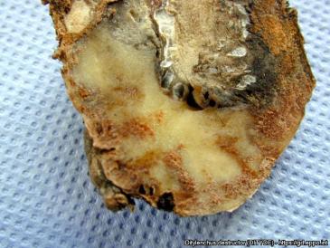 A gumórontó fonálféreg a burgonyagumón. (Fotó forrása: eppo.int/Nébih)