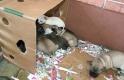 Kiskutyákat zsúfolt a csomagtartóba – lecsapott a rendőrség