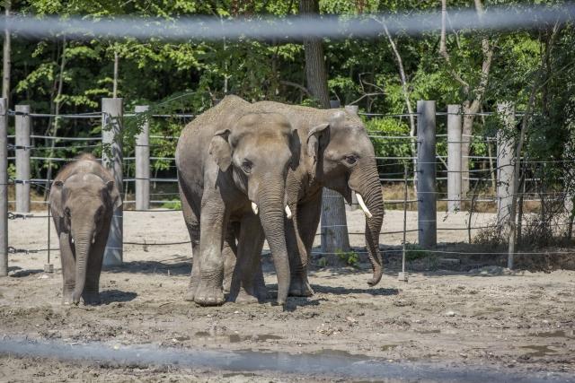 A közelmúltban érkezett három ázsiai elefánt a Szegedi Vadaspark új elefántházában az átadóünnepség napján, 2018. május 27-én.