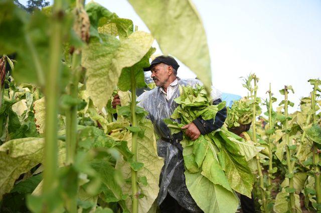Virginia dohány a Szabolcs-Szatmár-Bereg megyei Ófehértó határában (MTI Fotó: Balázs Attila)