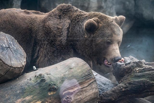 A Fővárosi Állat- és Növénykert barnamedvéje (Ursus arctos) 2019. február 2-án. A néphiedelem szerint, ha a medve ezen a napon kijön a barlangjából és nem látja az árnyékát, akkor nem lesz hosszú a tél. MTI/Mónus Márton