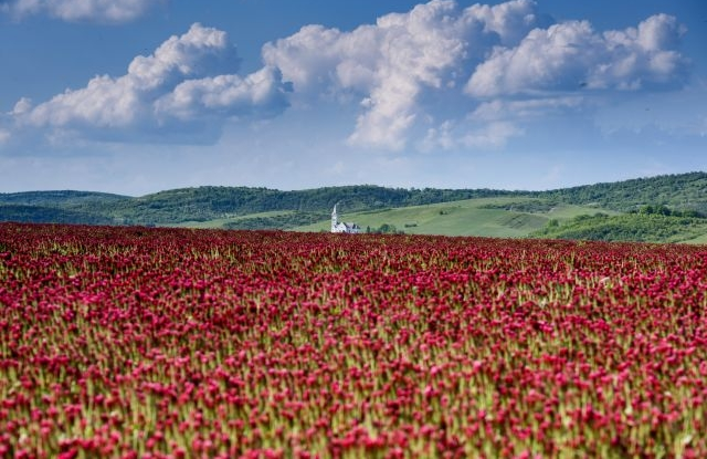 Crimson clovers (Trifolium incarnatum) bloom near Sagujfalu, Hungary, 19 May 2019. EPA/Peter Komka HUNGARY OUT
