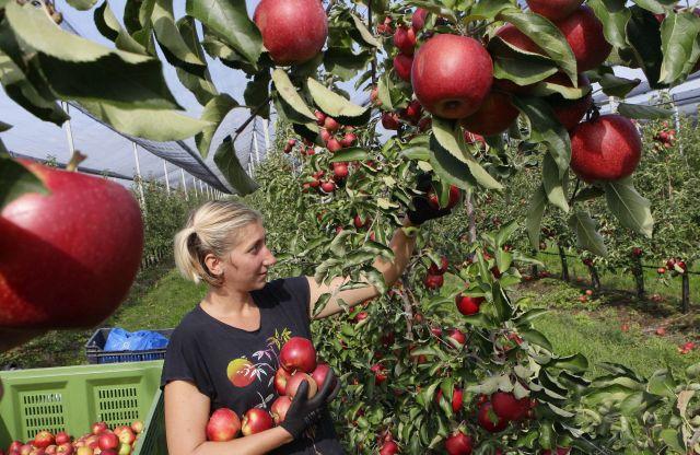 Nő szedi a Golden almát a csorvási Hunapfel 23 hektáros gyümölcsfa ültetvényén 2017. szeptember 27-én. Forrás: MTI/Lehoczky Péter