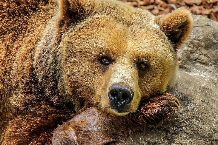 A medve a lefelé tartó tőzsdei trend jele (Pixabay)