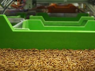 A világ legnagyobb rovargyárát építik meg Franciaországban