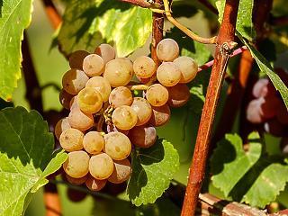 Tokaji borászatoknál razziázott a hatóság