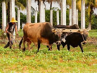 Elfogyott a benzin, traktor helyett megint ökrökkel szántanak Kubában