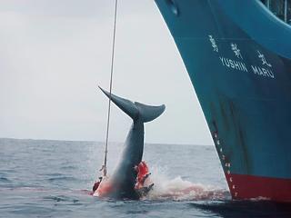 30 év után nem hazudnak tovább: újra vadászni kezdik a bálnákat a japánok