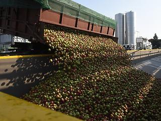 Nagyot zuhant az alma termelői ára