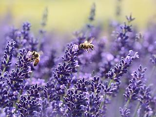 Elpusztultak a méhek – betiltották a gyógyhatású készítményt