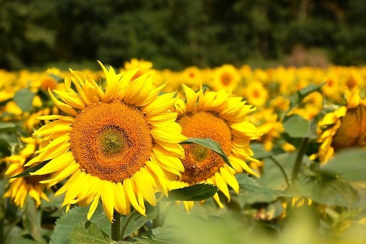 Napraforgómagból is állítanak elő nyers növényi olajat és -darát. Fotó: KITE