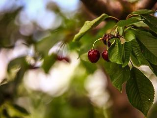 Ajándék a magyaroknak – olcsóbb lesz az egyik kedvenc gyümölcsünk