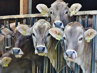 A tehenek és a birkák miatt következhet be a páratlan katasztrófa