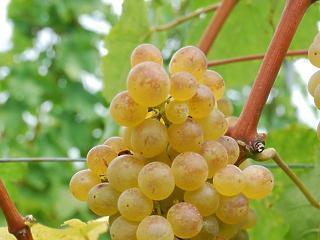 Te tudod, hogy melyik a magyarok kedvenc szőlőfajtája?