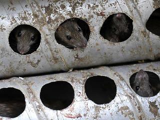 Rágcsálóveszély Budapesten: patkányt láttam a lakásomnál, mit csináljak?