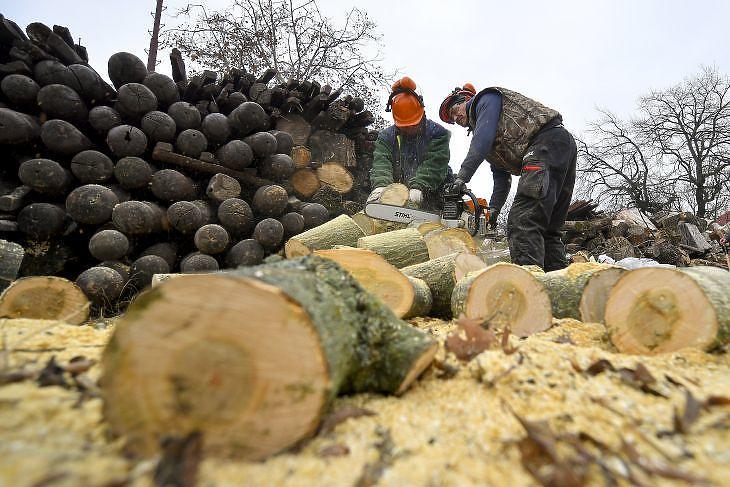 A közmunkásokat foglalkoztató Dehusz Kft. dolgozói tűzifát vágnak a cég telephelyén Debrecenben (Fotó: MTI/Czeglédi Zsolt)