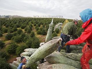 Nincs több uniós támogatás a hagyományos karácsonyfa-termesztésre