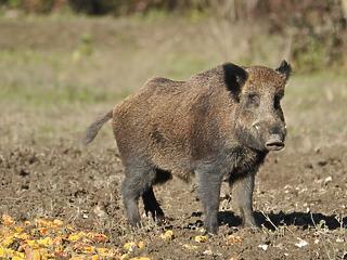 A sertéspestis miatt sürgősen adómentességet kell adni a vadászoknak