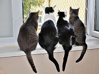 Koronavírus: leginkább a macskákra veszélyes