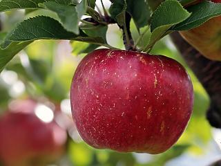 Küszöbön az újabb baj: beszakadhat az étkezési alma ára is