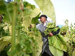 Kőkeményen betett az aszály és a munkaerőhiány a dohánynak