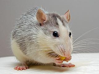 Óriási kavarodást okozott egy patkány