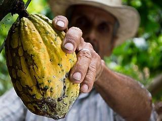 Újraéled a föld tüdeje: kakaó pótolhatja az őserdőt