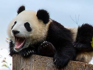Az óriáspandák hatalma: hogy édesgeti magához a világot Kína?