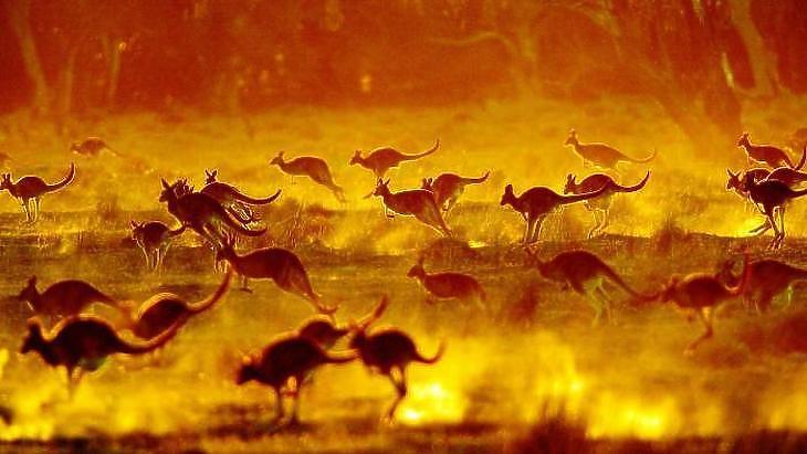 Kenguruk az ausztrál pusztában. (Fotó: Reuters)
