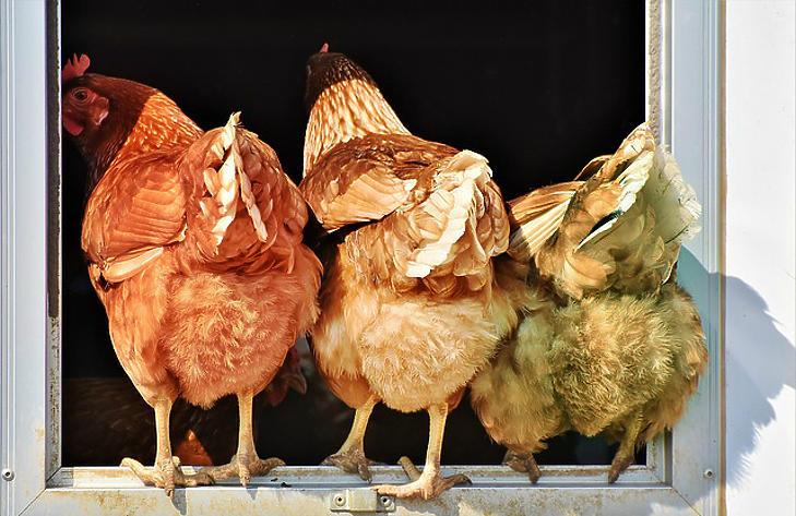 Kiderült, mennyivel lesz drágább a csirkehús