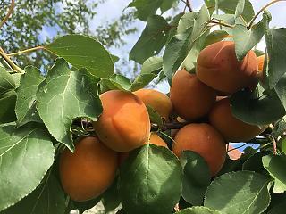 Idén alig lesz az egyik legmagyarabb gyümölcsből
