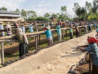 Klímaváltozás: a vadon termő kávéfajták 60 százalékát fenyegeti a kipusztulás