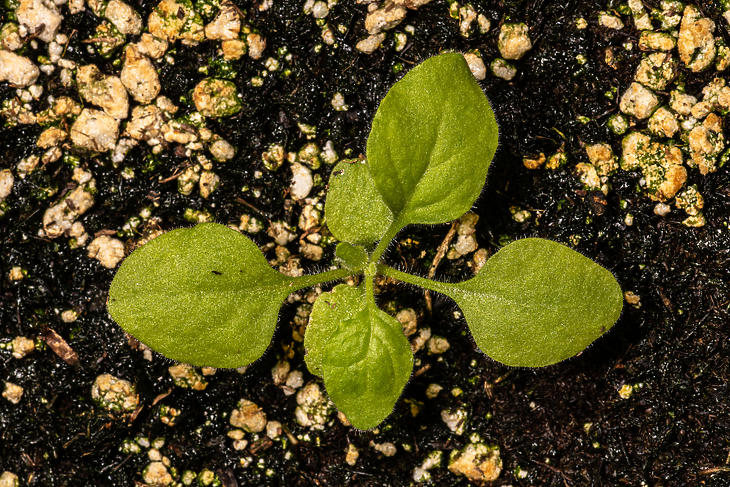 A vakcina alapanyagául szolgáló növény, a nicotiana benthamiana. Fotó: depositphotos.com