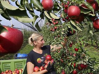 Megalázó árat fizetnének az almáért – traktorokkal tüntetnek a gazdák