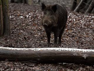 Több száz elhullott vaddisznót találtak Budakeszin