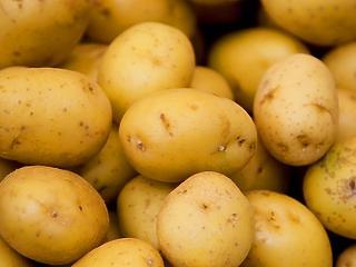 Megsemmisítenek 23 tonna fekete krumplit