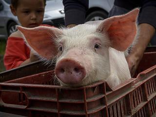 A pusztító járvány elérte Európa második legnagyobb sertésfarmját
