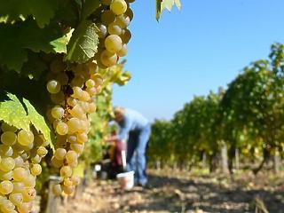 Újabb milliárdot bukott az állam a tokaji borászkodáson